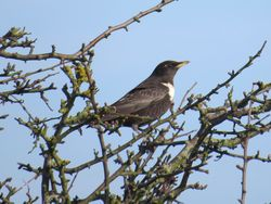 Ring Ouzel photographed at Rue des Hougues, STA [H04] on 27/3/2017. Photo: © Wayne Turner