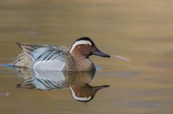 Garganey photographed at Rue des Bergers [BER] on 2/4/2017. Photo: © Dan Scott