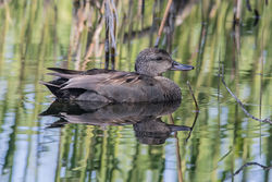 Gadwall photographed at Rue des Bergers [BER] on 21/4/2017. Photo: © Rod Ferbrache
