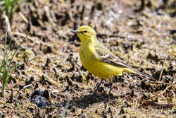 Yellow Wagtail photographed at Claire Mare [CLA] on 26/4/2017. Photo: © Andy Marquis