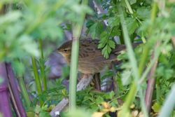 Grasshopper Warbler photographed at Les Vicheris [VI3] on 29/4/2017. Photo: © Dave Andrews