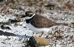 Little Ringed Plover photographed at Colin Best NR on 5/5/2017. Photo: © Adrian Bott