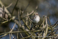 Spotted Flycatcher photographed at Pleinmont [PLE] on 8/5/2017. Photo: © Rod Ferbrache