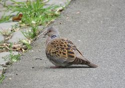 Turtle Dove photographed at Rue du Felconte, SPI on 24/5/2017. Photo: © Jamie Hooper