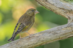Greenfinch photographed at Bas Capelles [BAS] on 11/6/2017. Photo: © Rod Ferbrache