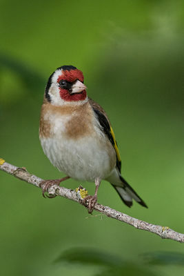 Goldfinch photographed at Bas Capelles [BAS] on 25/6/2017. Photo: © Rod Ferbrache