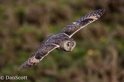 Long-eared Owl. Photo: © Dan Scott