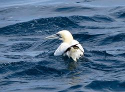 Gannet photographed at Pelagic [PEL] on 16/8/2017. Photo: © Mark Guppy