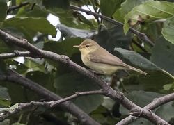 Melodious Warbler photographed at Claire Mare [CLA] on 21/8/2017. Photo: © Anthony Loaring