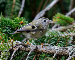 Goldcrest photographed at St Peter Port [SPP] on 11/9/2017. Photo: © Mike Cunningham