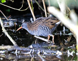 Water Rail photographed at Rue des Bergers [BER] on 12/9/2017. Photo: © Mike Cunningham