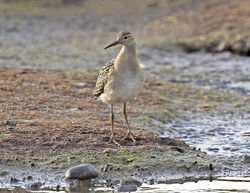 Ruff photographed at Claire Mare on 12/9/2017. Photo: © Mike Cunningham