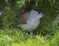 Blackcap photographed at St Peter Port [SPP] on 20/9/2017. Photo: © Mike Cunningham