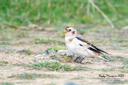Snow Bunting photographed at Fort Hommet [HOM] on 7/10/2017. Photo: © Andy Marquis