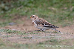 Snow Bunting photographed at Select location on 9/10/2017. Photo: © Rod Ferbrache