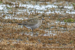 Golden Plover photographed at Colin Best NR [CNR] on 9/10/2017. Photo: © Rod Ferbrache