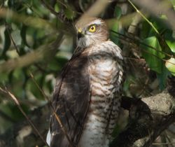 Sparrowhawk photographed at Rue des Bergers on 13/10/2017. Photo: © Dave Carre