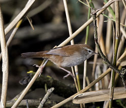 Cetti's Warbler photographed at Rue des Bergers [BER] on 18/10/2017. Photo: © Mike Cunningham