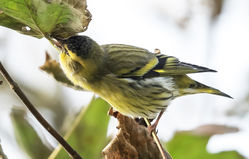 Siskin photographed at Rue des Valniquets on 27/10/2017. Photo: ©  Rockdweller