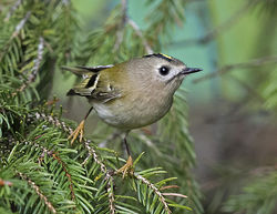 Goldcrest photographed at St Peter Port [SPP] on 31/10/2017. Photo: © Mike Cunningham