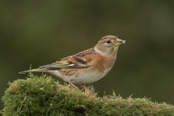 Brambling photographed at Bas Capelles [BAS] on 2/11/2017. Photo: © Rod Ferbrache