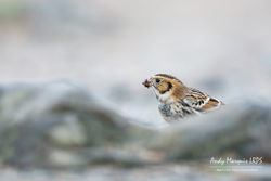 Lapland Bunting photographed at Fort Le Crocq [FLC] on 4/11/2017. Photo: © Andy Marquis