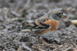 Brambling photographed at Rue des Hougues, STA [H04] on 7/11/2017. Photo: © Albert Harvey