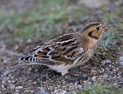 Lapland Bunting photographed at Fort Le Crocq [FLC] on 8/11/2017. Photo: © Mike Cunningham