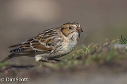 Lapland Bunting photographed at Fort Le Crocq [FLC] on 4/11/2017. Photo: © Dan Scott