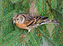 Brambling photographed at St Peter Port [SPP] on 12/11/2017. Photo: © Mike Cunningham