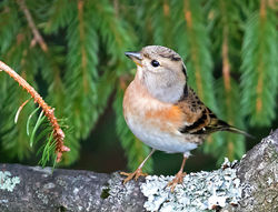 Brambling photographed at St Peter Port on 12/11/2017. Photo: © Mike Cunningham