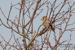Hawfinch photographed at Foulon [FOU] on 16/11/2017. Photo: © Andy Marquis