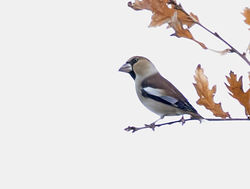 Hawfinch photographed at Foulon [FOU] on 17/11/2017. Photo: © Anthony Loaring