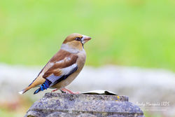 Hawfinch photographed at Foulon [FOU] on 29/11/2017. Photo: © Andy Marquis