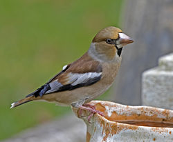 Hawfinch photographed at Foulon [FOU] on 6/12/2017. Photo: © Mike Cunningham