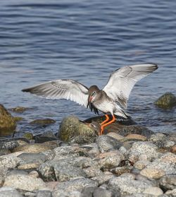 Redshank photographed at Shingle Bank on 3/11/2016. Photo: © Julie Davis