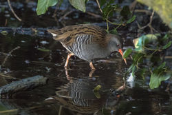 Water Rail photographed at Rue des Bergers [BER] on 20/12/2017. Photo: © Rod Ferbrache