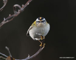 Firecrest photographed at Shingle Bank [SHI] on 19/12/2017. Photo: © Albert Harvey