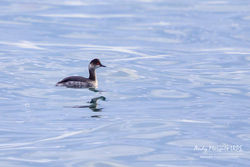 Black-necked Grebe photographed at Red Lion Beach [RED] on 6/1/2018. Photo: © Andy Marquis