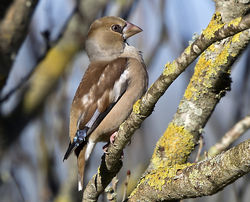Hawfinch photographed at Foulon [FOU] on 10/1/2018. Photo: © Mike Cunningham