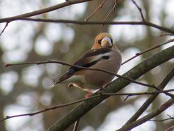 Hawfinch photographed at Foulon [FOU] on 19/1/2018. Photo: © Wayne Turner