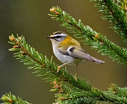 Firecrest photographed at St Peter Port [SPP] on 20/2/2018. Photo: © Mike Cunningham
