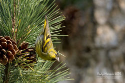Siskin photographed at Saumarez Park [SAU] on 24/2/2018. Photo: © Andy Marquis