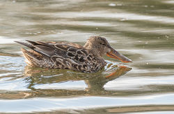 Shoveler photographed at Rue des Bergers [BER] on 26/2/2018. Photo: © Rod Ferbrache