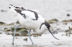Avocet photographed at Colin Best NR [CNR] on 1/3/2018. Photo: ©  Rockdweller
