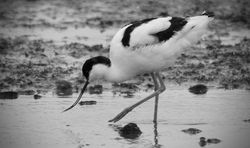 Avocet photographed at Colin Best NR [CNR] on 1/3/2018. Photo: © Phil Alexander