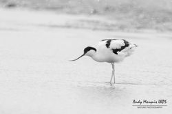 Avocet photographed at Colin Best NR [CNR] on 1/3/2018. Photo: © Andy Marquis