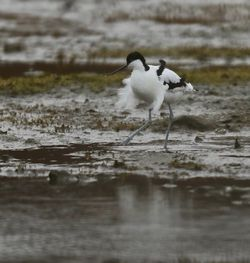 Avocet photographed at Colin Best nature Reserve on 2/3/2018. Photo: © Julie Davis