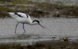 Avocet photographed at Colin Best NR [CNR] on 2/3/2018. Photo: © Julie Davis