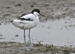 Avocet photographed at Colin Best NR [CNR] on 2/3/2018. Photo: © Anthony Loaring